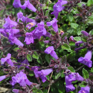 Alpen Steinquendel Bluete lila Acinos alpinus 13
