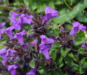 Alpen-Steinquendel Blüte lila Acinos alpinus