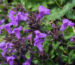 Zurück zum kompletten Bilderset Alpen-Steinquendel Blüte lila Acinos alpinus
