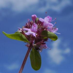 Alpen Thymian Bluete pink Thymus praecox 32