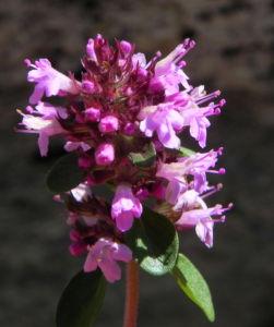 Alpen Thymian Bluete pink Thymus praecox 34