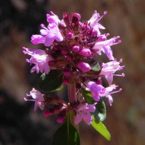 Alpen Thymian Bluete pink Thymus praecox 37