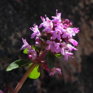 Alpen Thymian Bluete pink Thymus praecox 39