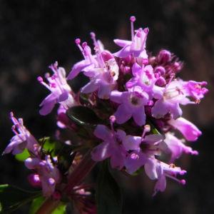 Alpen Thymian Bluete pink Thymus praecox 40