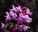 Bild: Alpen-Thymian Blüte pink Thymus praecox