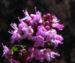 Zurück zum kompletten Bilderset Alpen-Thymian Blüte pink Thymus praecox