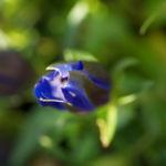 Bild: Alpen-Enzian Blüte blau Gentiana alpina