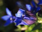 Alpenenzian Bluete blau Gentiana alpina 07