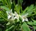 Zurück zum kompletten Bilderset Altai-Seidelbast Blüte weiß Daphne altaica