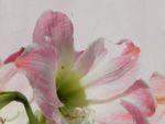 Amaryllis Bluete weiss pink Amaryllis belladonna 01