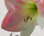 Amaryllis Bluete weiss pink Amaryllis belladonna 02