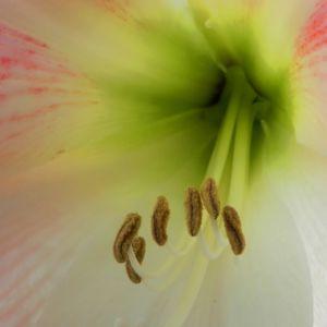 Amaryllis Bluete weiss pink Amaryllis belladonna 03