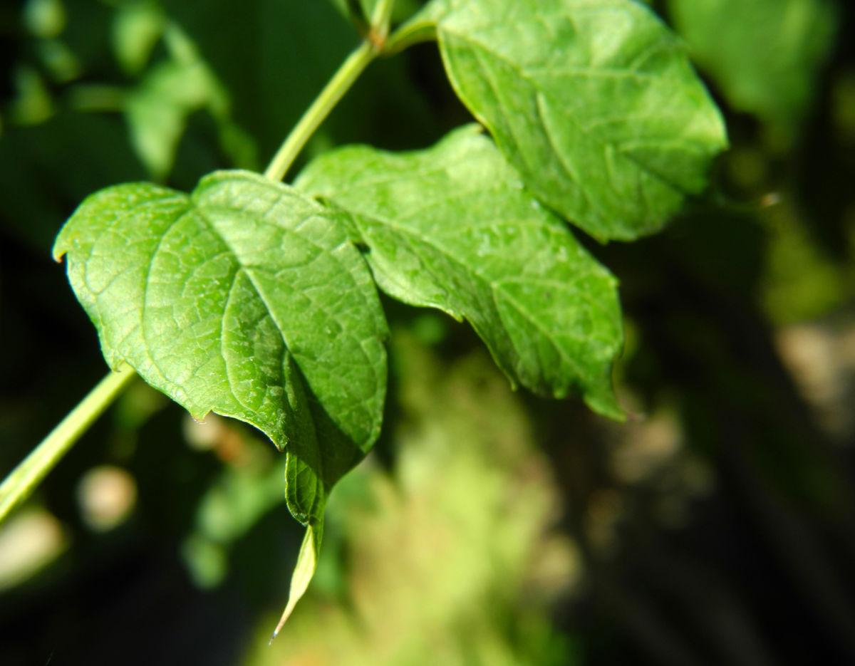 Amerikanische Klettertrompete Blatt gruen Campsis radicans