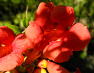 Amerikanische Klettertrompete Bluete rot Campsis radicans 09