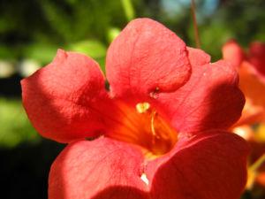 Amerikanische Klettertrompete Bluete rot Campsis radicans 11