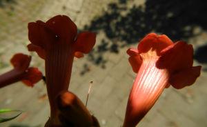 Amerikanische Klettertrompete Bluete rot Campsis radicans 18