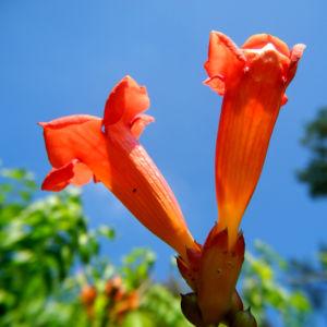 Amerikanische Klettertrompete Bluete rot Campsis radicans 31