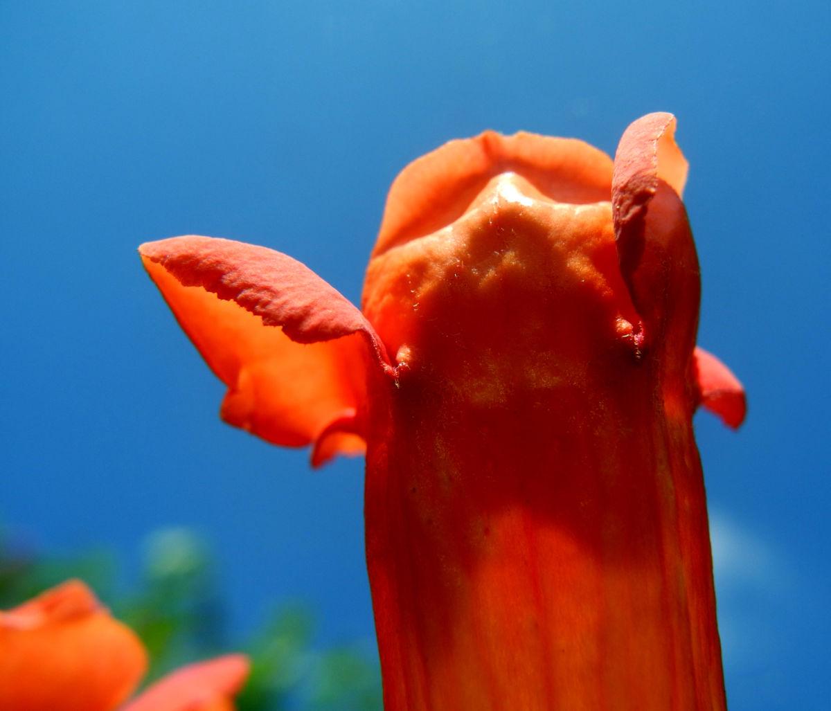Amerikanische Klettertrompete Bluete rot Campsis radicans