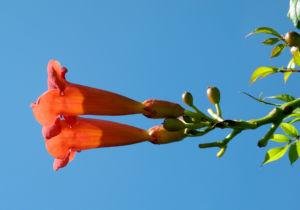 Amerikanische Klettertrompete Bluete rot Campsis radicans 36