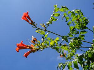 Amerikanische Klettertrompete Bluete rot Campsis radicans 39