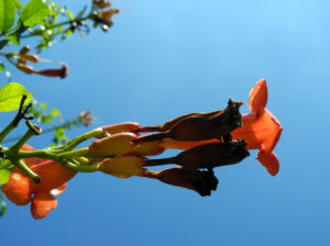 Amerikanische Klettertrompete Bluete rot Campsis radicans 40
