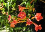Amerikanische Klettertrompete Bluete rot Campsis radicans 45