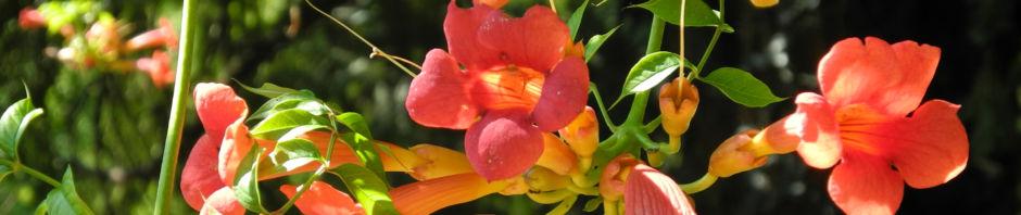 Anklicken um das ganze Bild zu sehen  Amerikanische Klettertrompete Campsis radicans