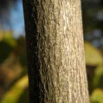 Amerikanische Pimpernuss Rinde grau braun Staphylea trifolia 01