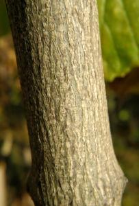 amerikanische pimpernuss rinde grau braun staphylea trifolia 02