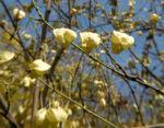 amerikanische pimpernuss samen kapsel staphylea trifolia 03