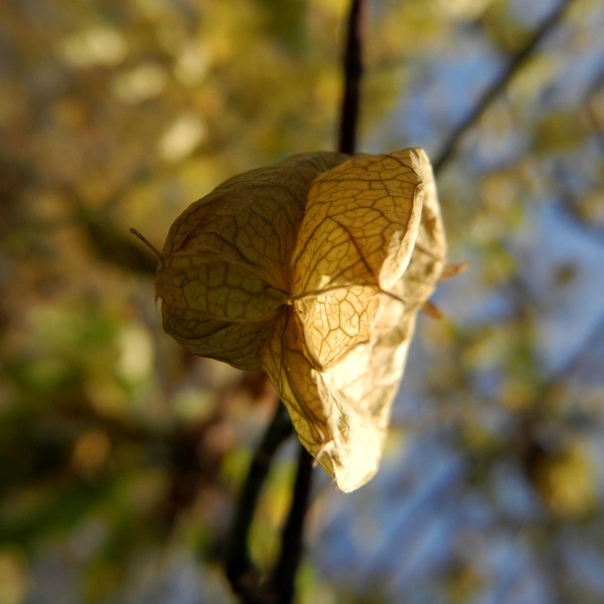 amerikanische pimpernuss samen kapsel staphylea trifolia