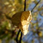 amerikanische pimpernuss samen kapsel staphylea trifolia 06
