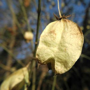 amerikanische pimpernuss samen kapsel staphylea trifolia 09