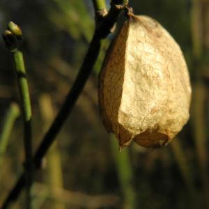 amerikanische pimpernuss samen kapsel staphylea trifolia 10