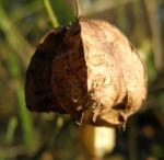 Amerikanische Pimpernuss Samen Kapsel Staphylea trifolia 11