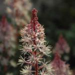 Amerikanische Schaumbluete Bluete rose Tiarella wheryi 01