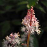 Amerikanische Schaumbluete Bluete rose Tiarella wheryi 03