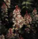 Amerikanische Schaumbluete Bluete rose Tiarella wheryi 06