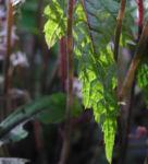 Amerikanische Schaumbluete Bluete rose Tiarella wheryi 17