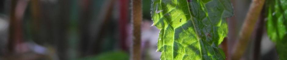 amerikanische-schaumbluete-bluete-rose-tiarella-wheryi