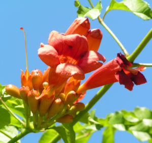 Amerikanische Trompetenblume Bluete rot Campsis radicans 01