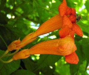 Amerikanische Trompetenblume Bluete rot Campsis radicans 03