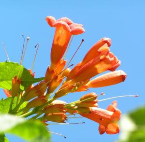 Amerikanische Trompetenblume Bluete rot Campsis radicans 04