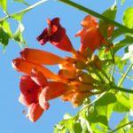 Bild:  Amerikanische Trompetenblume Blüte rot Campsis radicans