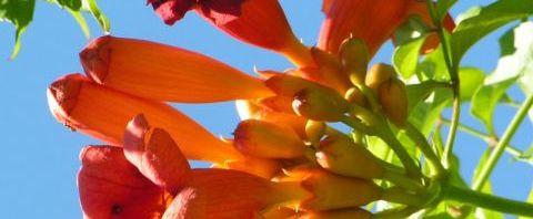 Anklicken um das ganze Bild zu sehen Amerikanische Trompetenblume Blüte rot Campsis radicans