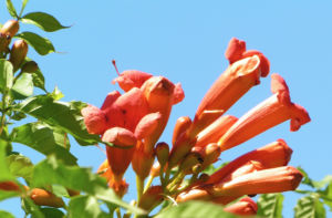 Amerikanische Trompetenblume Bluete rot Campsis radicans 10
