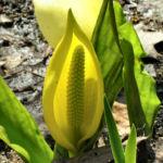 Amerikanischer Riesen Aronstab Bluete gelb Lysichiton americanum 03