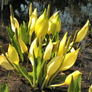 Amerikanischer Riesen Aronstab Bluete gelb Lysichiton americanum 04