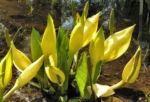 Amerikanischer Riesen Aronstab Bluete gelb Lysichiton americanum 06