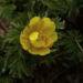 Zurück zum kompletten Bilderset Amur-Adonisröschen Blüte gelb Adonis amurensis